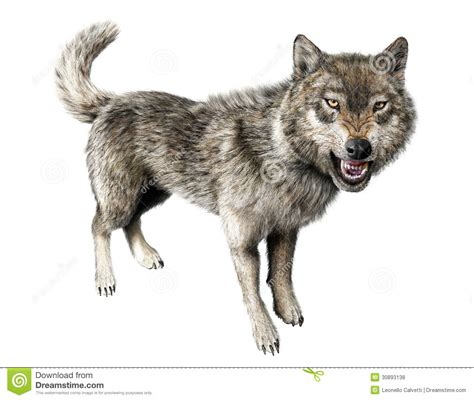 wolf growling standing on white background royalty free