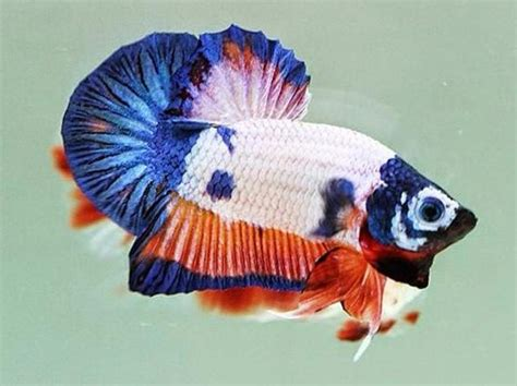 Cupang Pk Koi Fancy 40 jenis ikan hias air tawar yang banyak dipelihara di indonesia anotherorion