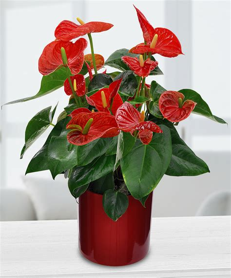 potted anthurium in minneapolis mn schaaf floral