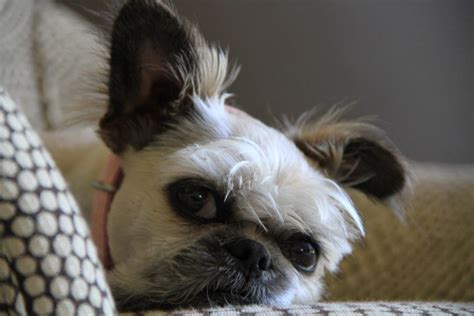 bulldog and shih tzu mix shelby the lhasa apso bulldog shih tzu mix