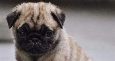 pug breeders in kansas pug puppies for sale in kansas for pet
