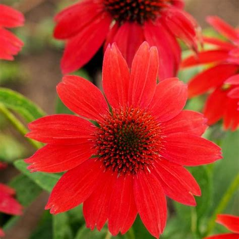 1000 images about coneflowers on pinterest perennials sun and purple
