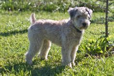 can you straighten wheaten terrier hair cut dogs can be stylish too style pinterest cute
