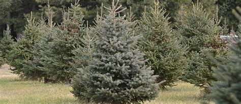 100 christmas tree farm arizona corkbark fir clover
