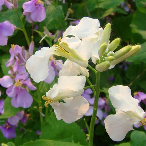 pianta ricante con fiori bianchi pianta ricante con fiori bianchi profumati comorg net