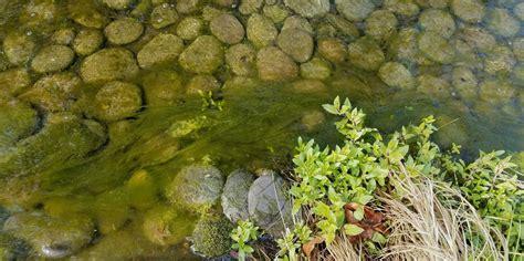 garden pond algae removal garden ftempo