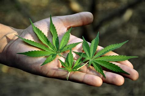 Cannabis Pictures