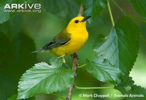Prothonotary Search Prothonotary Warbler Photos And Facts Protonotaria Citrea Arkive