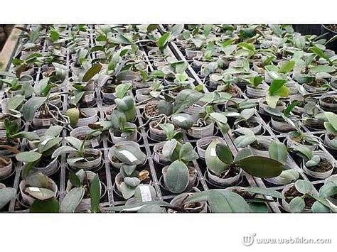Bibit Tanaman Anggrek Seedling jual bibit seedling dendrobium bulan cattleya vanda