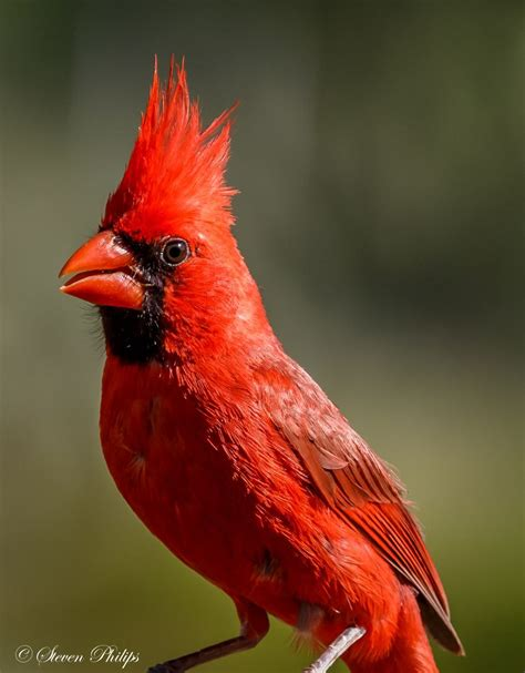 A Picture Of A Cardinal
