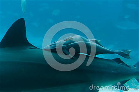 baby shark instrumental baby shark on mother s back stock photography image
