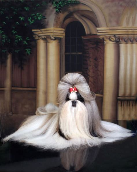best in show shih tzu artemis shih tzu home