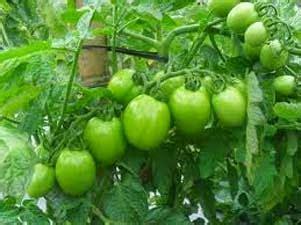 Pupuk Untuk Bunga Tomat dapatkah tomat rontok gara gara disemprot pestisida tani