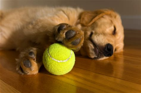 golden retrievers tips golden retriever puppy tips golden retrievers