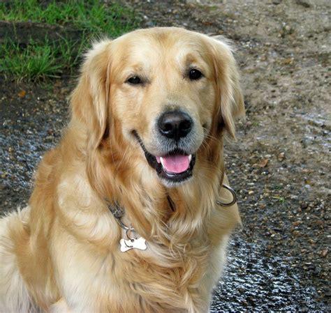 illinois golden retriever razze cani il golden retriever caratteristiche e prezzo dogalize