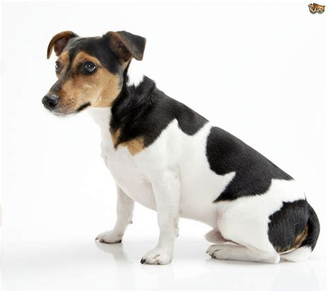 Jack Russell colours and coat types   Pets4Homes