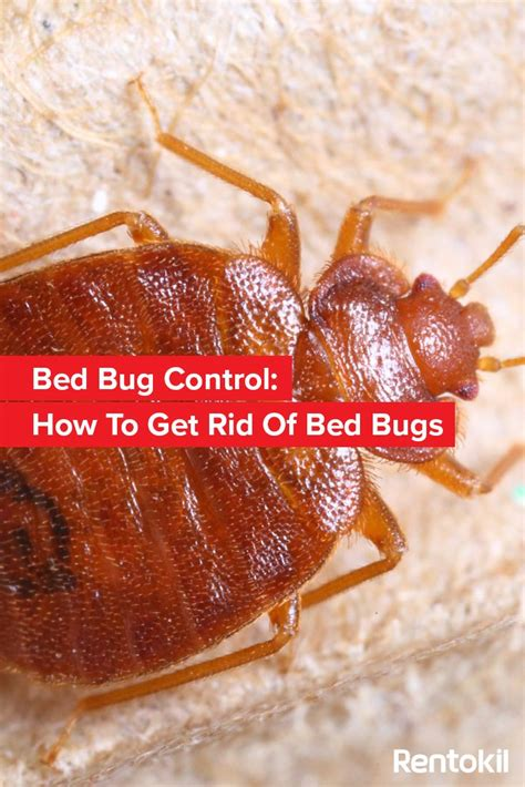 how to treat bed bugs 17 best ideas about bed bugs on pinterest bed bugs