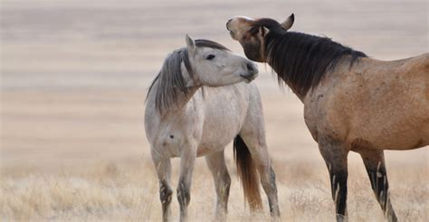 blm mustang adoption requirements frequently asked questions bureau of land management