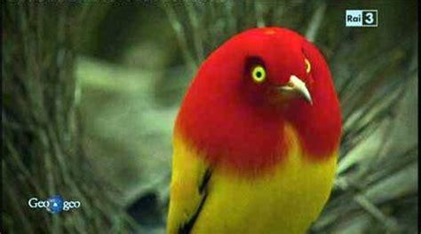 uccello giardiniere uccello giardiniere di fiamma paperblog