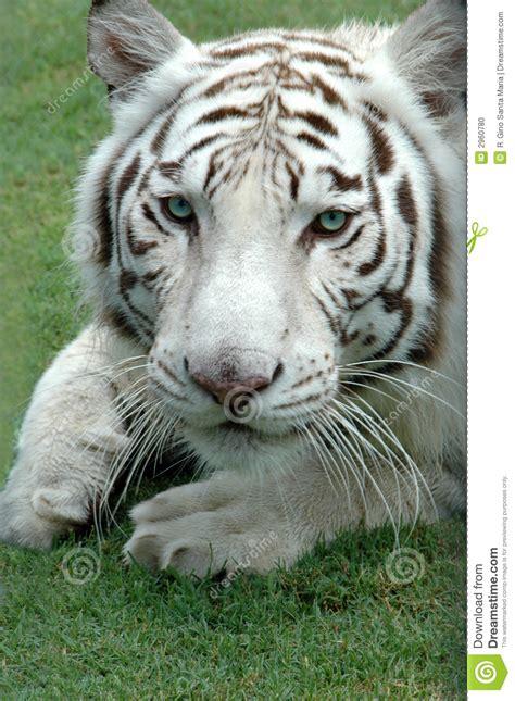imagenes tigre blanco bengala tigre de bengala blanco foto de archivo imagen de peludo