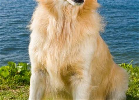 amica golden retrievers dobermann cani da lavoro donnad amica fidata consigli su ricette casa e benessere