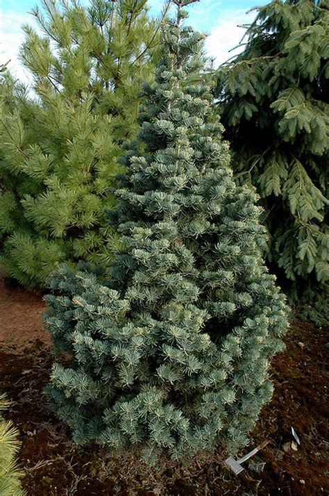 compact white fir abies concolor compacta  inver