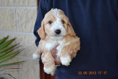 spoodle puppies spoodle puppies www imgkid the image kid has it