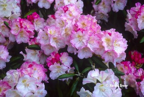 rhododendron species flowers fruits vegetables trees seeds p