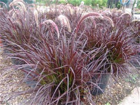 pennisetum setaceum rubrum evergreen nursery