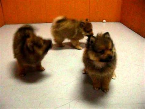 puppies for sale in oxnard pomeranian puppies for sale in san francisco california ca moreno valley