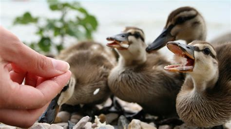 feeding ducks bread could actually be harming them