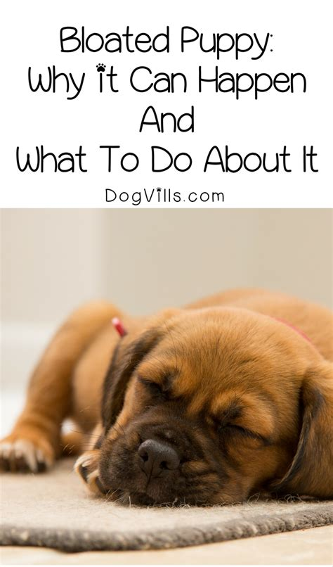 can puppies get bloat bloated puppy why it can happen and what to do about it dogvills