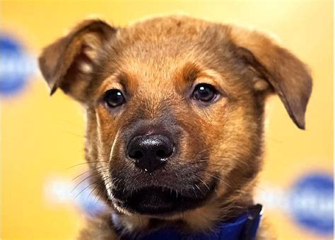 pitbull german shepherd mix puppies german shepherd pitbull mix puppies photo happy heaven