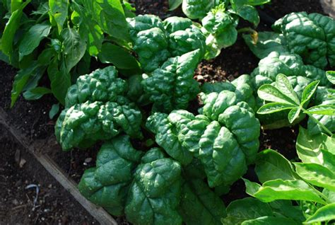 Click And Grow Garden by Growing Spinach How To Grow Spinach Planting Spinach