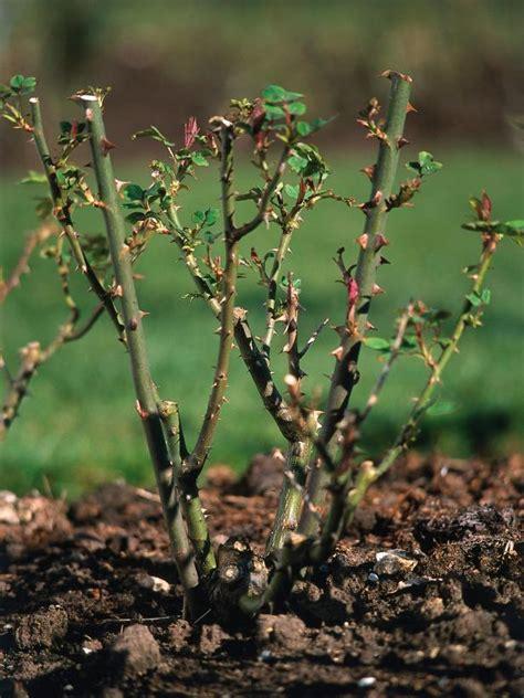 how to prune rose bushes pruning roses hgtv