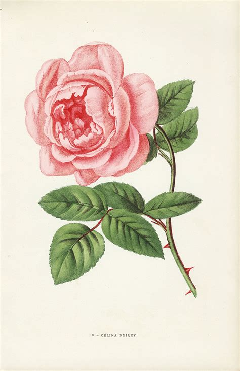 jamain rose prints 1873
