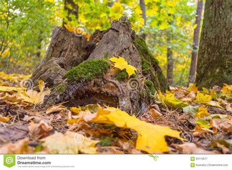 stump overgrown  green moss   forest  autumn