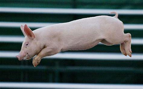 il maiale volante corriere della sera