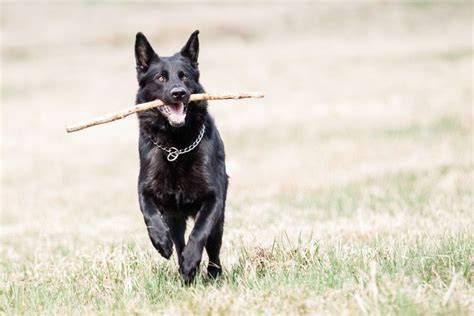 black german shepherd the black german shepherd everything you need to about