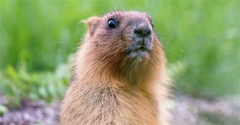groundhog day and meaning groundhog day roots astronomy spiritual meaning