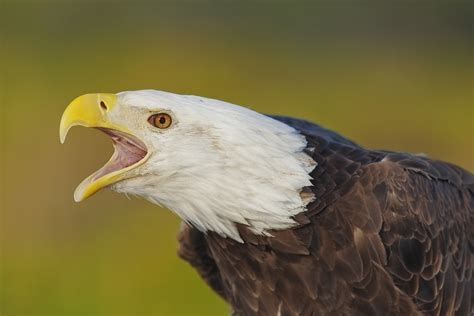screaming eagle head