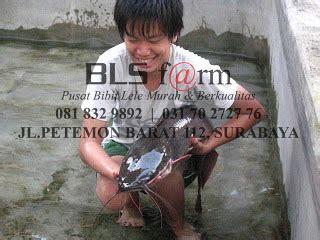 Bibit Ikan Lele Di Surabaya budidaya ikan lele sangkuriang dan ternak lele terbesar di