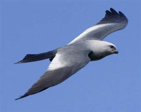 mississippi kite audubon field guide