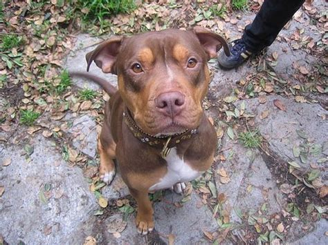 pitbull with rottweiler markings 17 best images about puppies on rottweiler mix huskies puppies and
