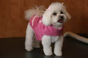 pictures of hairstyles for maltese dogs fun hairstyles for your maltese you can do at home dog