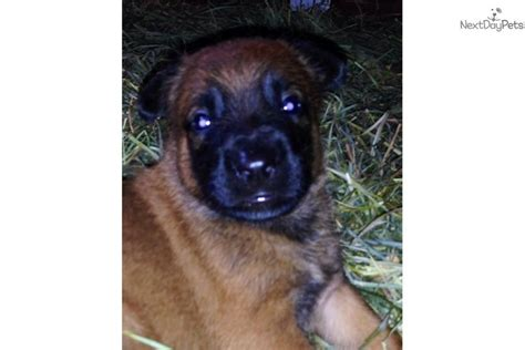 free puppies in west palm belgian malinois puppy for sale near west palm florida 4312b617 7fe1