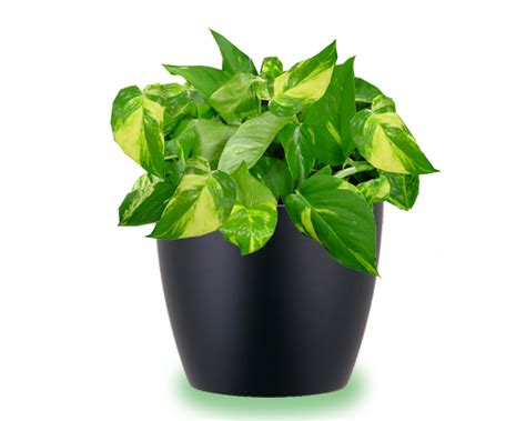 house plant types house plants care and guides pothos plant care