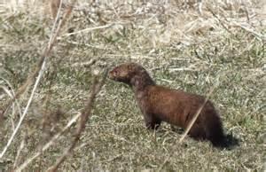 Backyard Birds Of Texas Mink Hunts Muskrats In Ontario Swamp