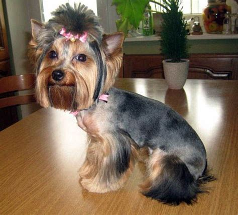 can you cut silky terrier hair short here are some images that you can get idea about yorkie
