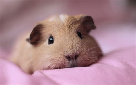caring for your guinea pig assisi veterinary group